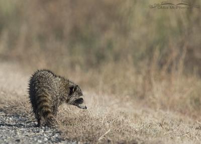 Raccoon cub at Bear River Migratory Bird Refuge
