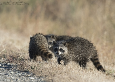 Trio of Raccoon cubs next to a marsh