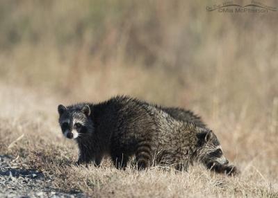 Raccoon cubs at Bear River Migratory Bird Refuge