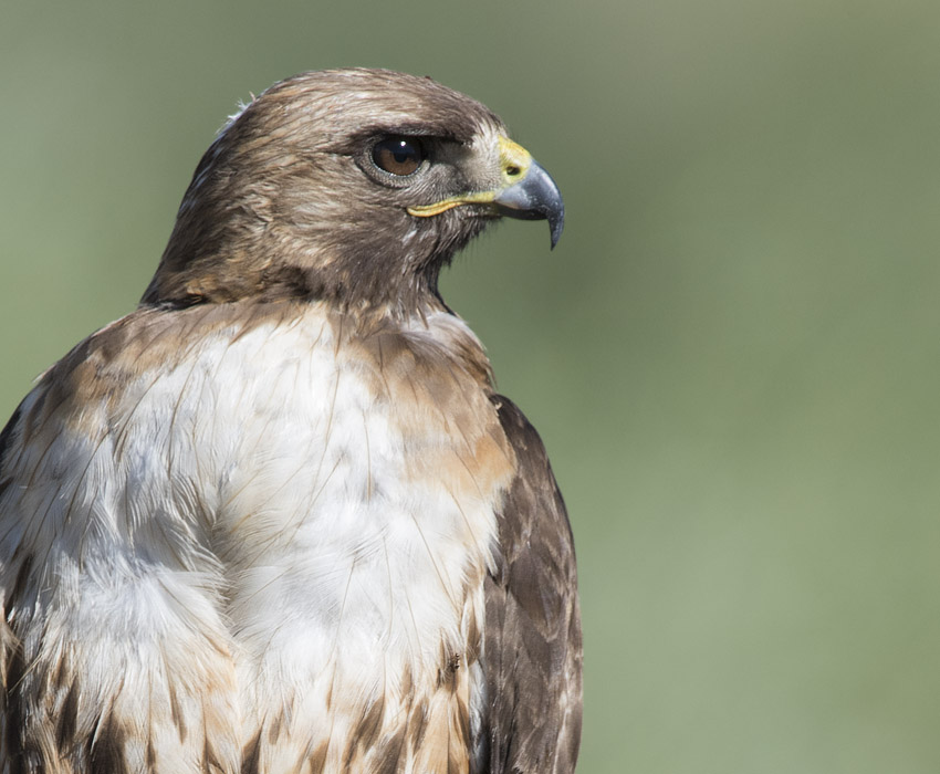 Red-tailed Hawk and an ant