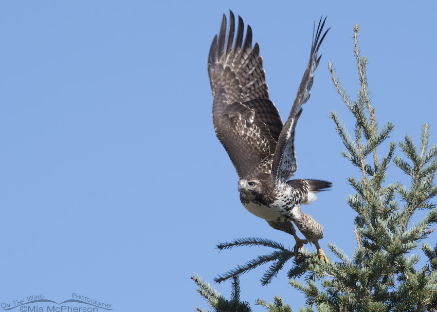 Juvenile Red-tailed Hawk taking off from a conifer