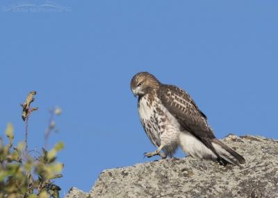 Juvenile Red-tailed Hawk walking down boulder