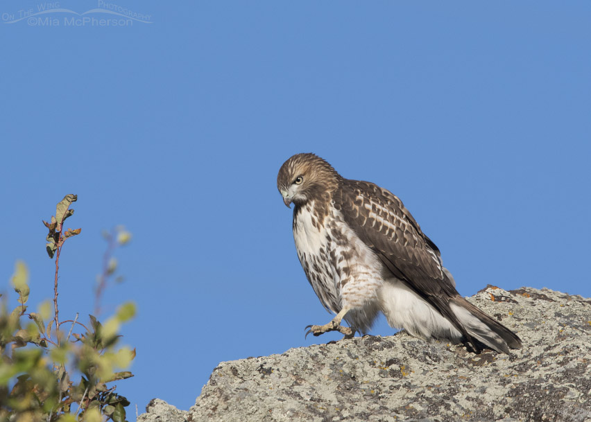 Juvenile Red-tailed Hawk walking down a boulder