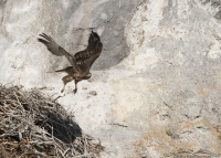 Red-tailed Hawk lifting off from a nest
