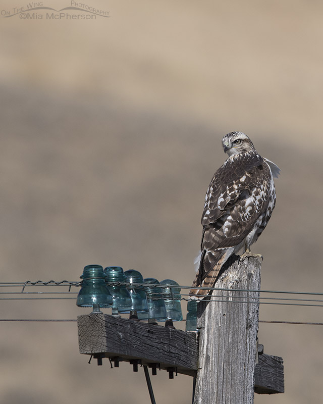 Red-tailed Hawk perched on an old telegraph pole