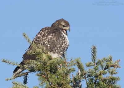 Yawning juvenile Red-tailed Hawk in a conifer