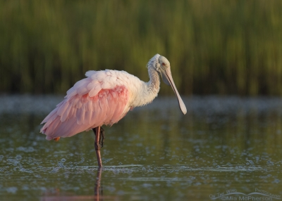 Early morning Roseate Spoonbill in a lagoon