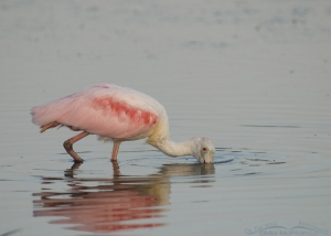 Roseate Spoonbill foraging in a light fog