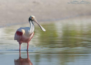 Roseate Spoonbill in a tidal pool