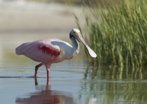 Roseate Spoonbill foraging near the spartina