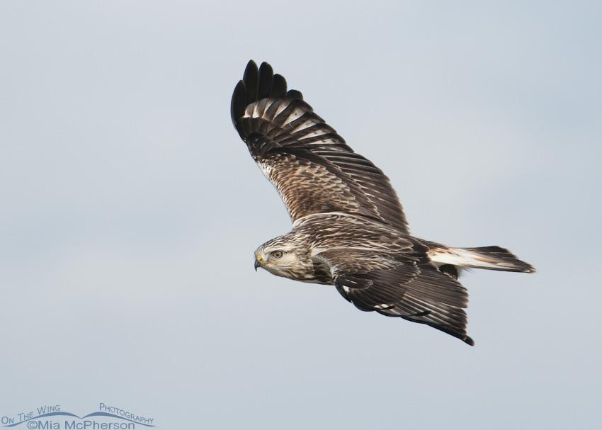 Eye level Rough-legged Hawk in flight