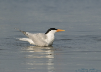 Breeding Plumage Royal Tern bathing