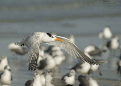 Royal Tern in flight over a flock of birds