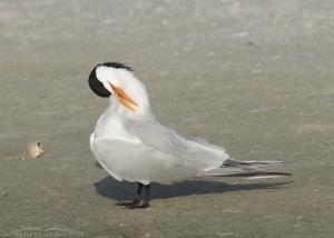 Preening Royal Tern in breeding plumage