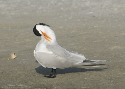Preening Royal Tern in breeding plumage