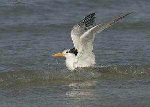 Royal Tern bathing in the waves