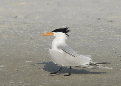 Royal Tern strutting during courtship behavior