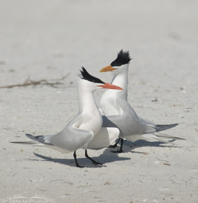 Royal Terns courting
