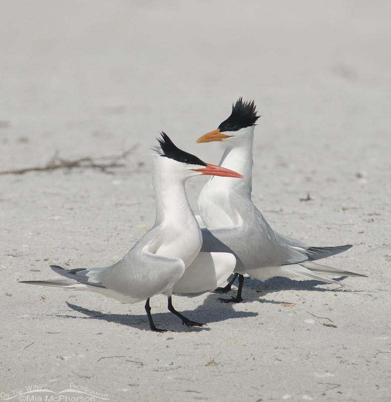 Royal Terns courting