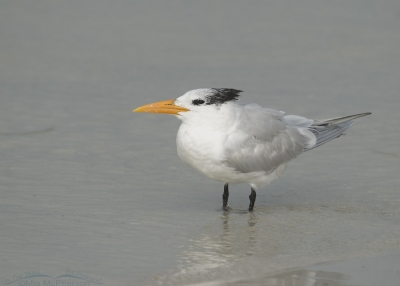 Foggy morning Royal Tern