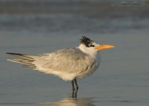 Royal Tern glowing in the rising sun