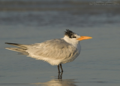 Royal Tern glowing in the rising sun