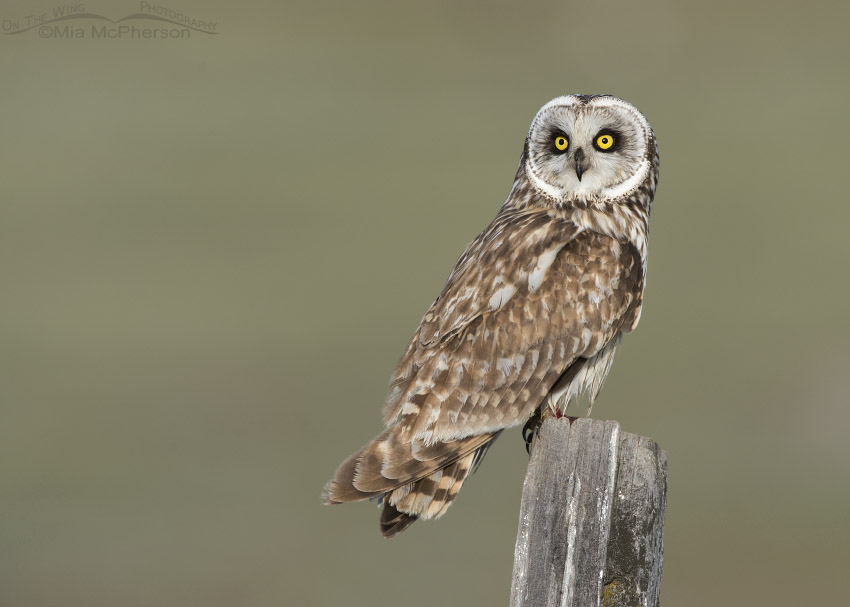 Male Short-eared Owl in adult plumage