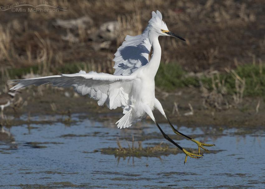 Snowy Egret landing at Farmington Bay