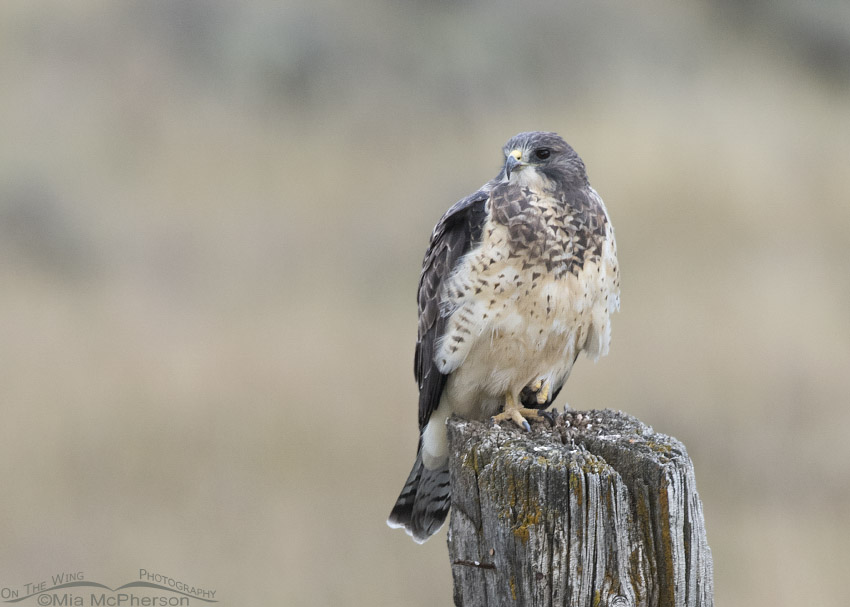 Sub-adult Swainson's Hawk in low light