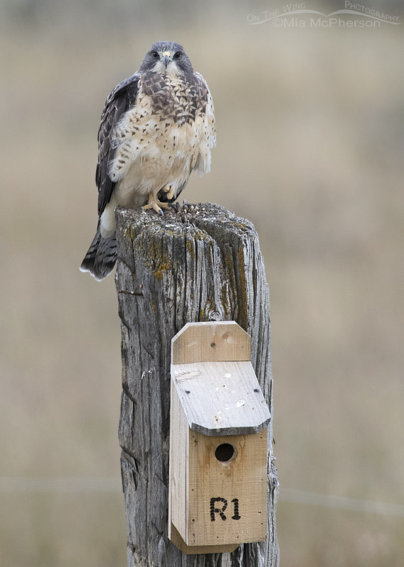 Sub-adult Swainson's Hawk perched near a nest box