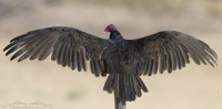 Thermoregulating adult Turkey Vulture