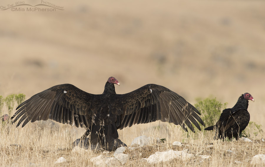 Turkey Vulture thermoregulating in a field