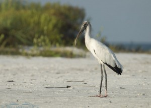 Wood Stork on the north beach of Fort De Soto