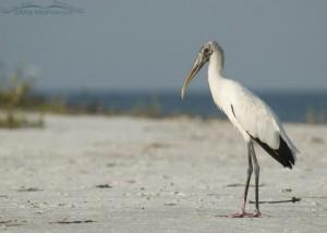 Wood Stork on the shoreline
