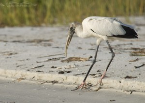 Wood Stork slipping at the shoreline