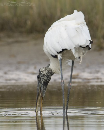 Back view of a Wood Stork