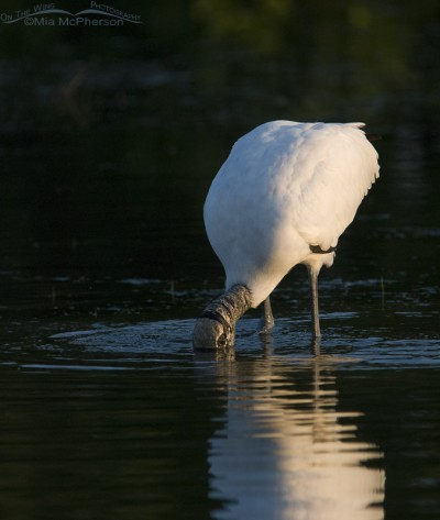Wood Stork feeding in the first light of the day
