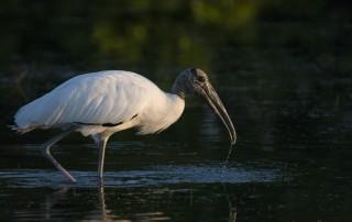 Wood Stork in a dark lagoon