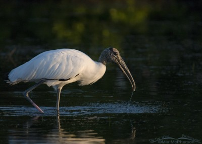 Wood Stork in a dark lagoon