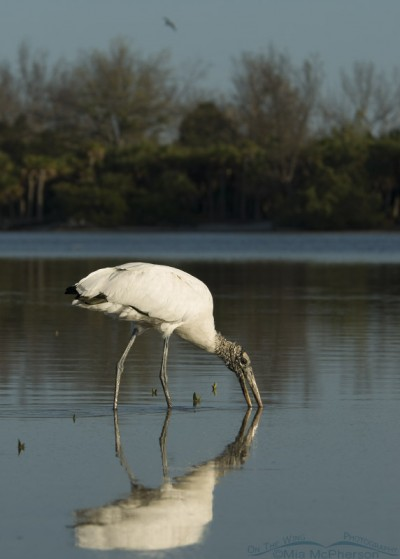 Wood Stork foraging in a still lagoon