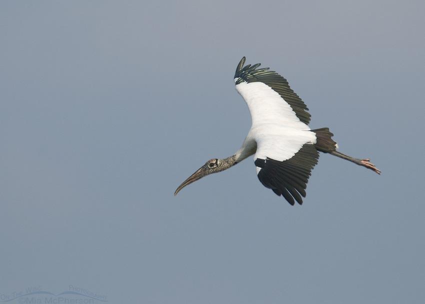 Adult Wood Stork in flight