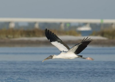 Wood Stork in flight past a bridge
