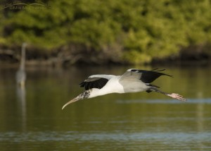Wood Stork flight