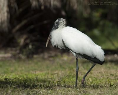 Resting Wood Stork