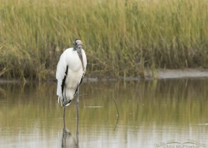 Wood Stork near a Spartina marsh