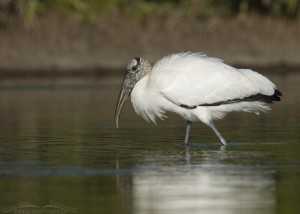 Wood Stork wading in a lagoon