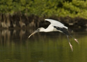 Wood Stork flying over a lagoon