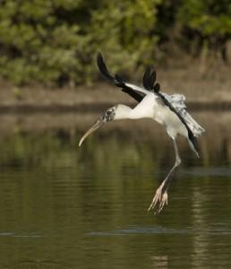 Landing Wood Stork