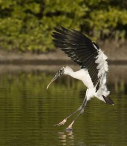 Wood Stork landing in a lagoon