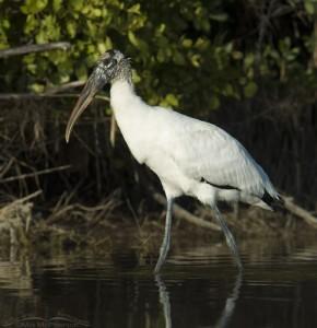 Wood Stork near mangroves